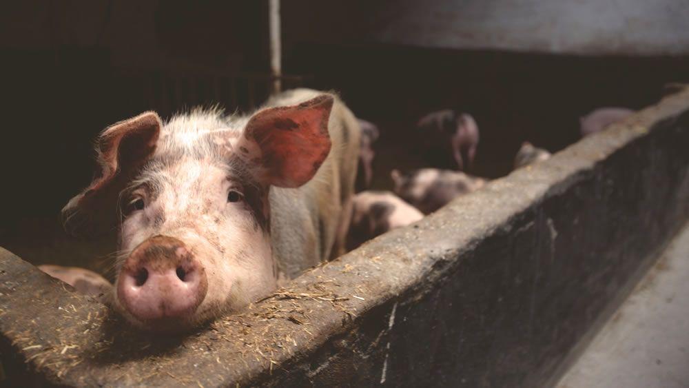 Convocatoria Docente de Tiempo Completo: Medicina y Producción Porcina